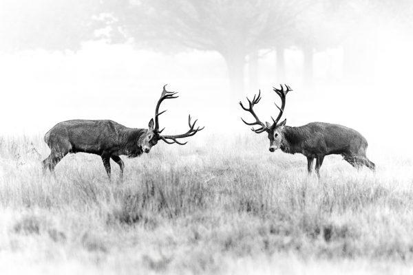 Lucha de ciervos en berrea viaje fotográfico
