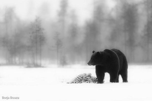 Viaje fotográfico a Finlandia para fotografiar osos