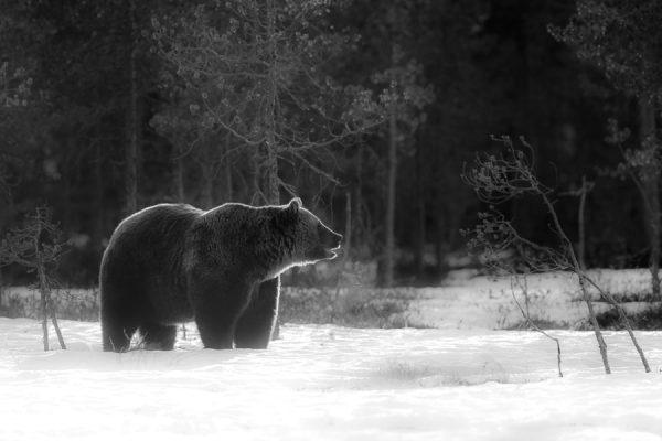 Fotografiar osos en Finlandia. Viaje fotográfico.