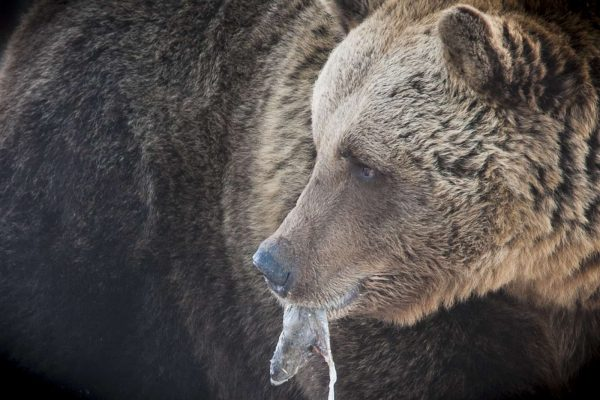 Viaje fotográfico a Finlandia para fotografía de osos.