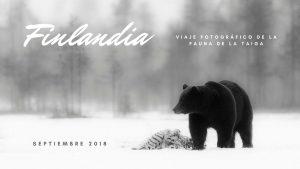 Fotografía de osos en Finlandia. Septiembre 2018